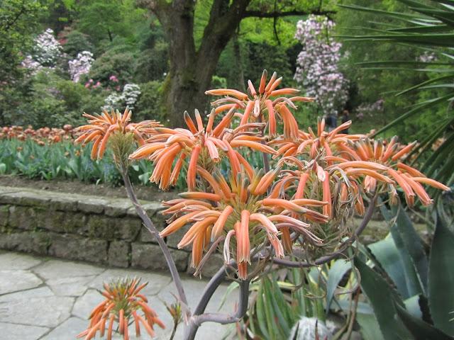 Fioritura Aloe Saponaria