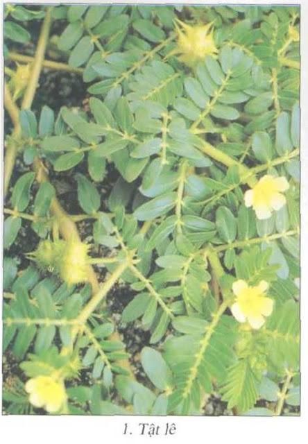 Hoa Tật Lê (Bạch Tật Tê) - Tribulus terrestris - Nguyên liệu làm thuốc Chữa bệnh Mắt Tai Răng Họng