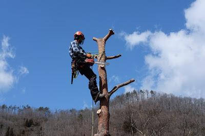 工芸と喫茶ひとつ石の古民家の立派な松を伐採 もう少し