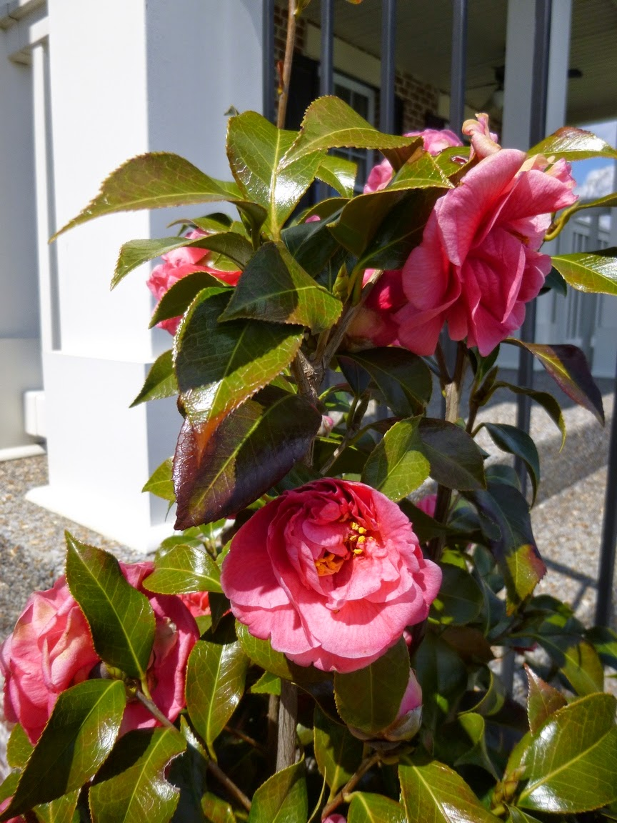 An unknown Camellia japonica survived the winter to bloom with exuberance