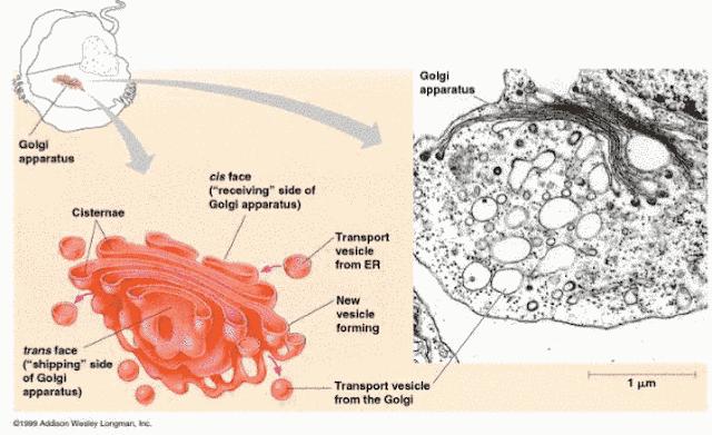Ultra structure de l'appareil de Golgi