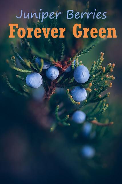 how to grow juniper from berries