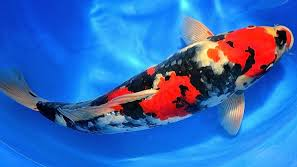 koi Ikan Hias Air Tawar Yang Bisa Dicampur Pada Satu Akuarium