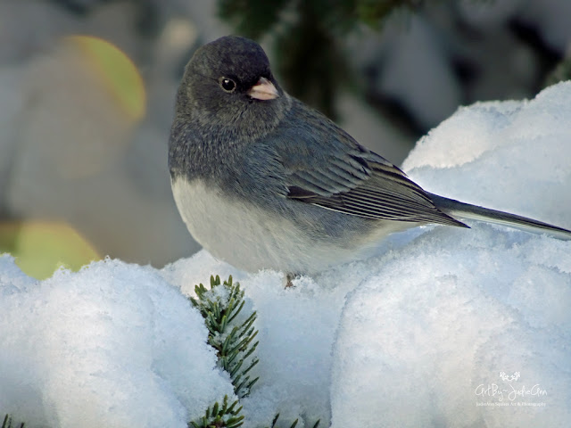 Junco Photo Print