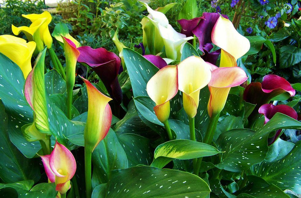 Flores Bonitas Para Jardin Good Del Jardn Se Reproduce Por Esquejes - Flores-bonitas-para-jardin