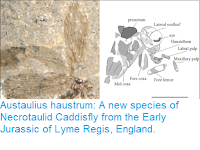 https://sciencythoughts.blogspot.com/2018/12/austaulius-haustrum-new-species-of.html