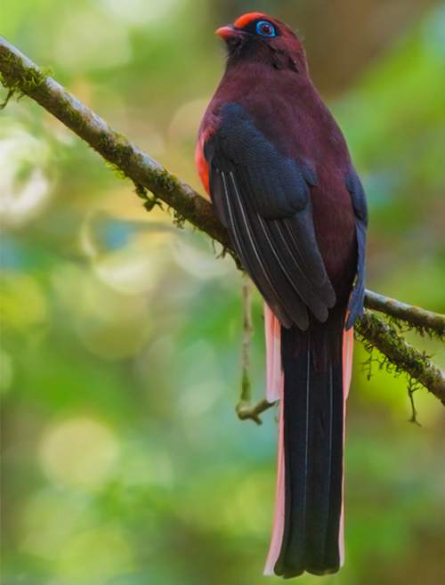 Indian birds - Image of Ward's trogon - Harpactes wardi