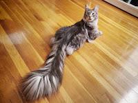 Inilah Kucing Tercantik Sang Rekor Dunia