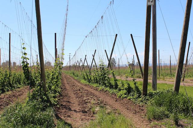 Rogue Farms hop farm