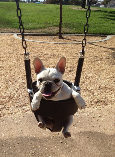 A French Bulldog on a Sapien Swingset.