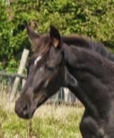 http://www.pferdezucht-franz.com/2012/05/d-stutfohlen-von-dancier-geb-09052012.html