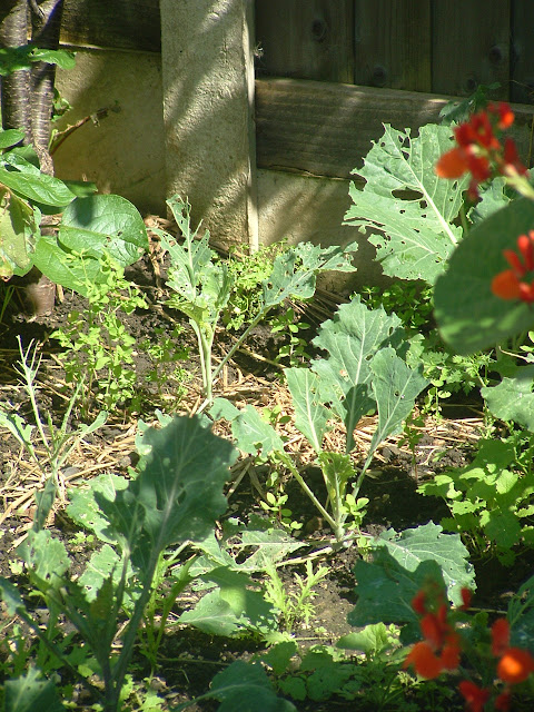 Young cabbage plants growing in a garden bed
