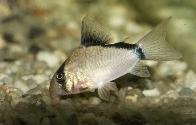 Jenis Ikan Corydoras metae