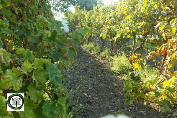 La vid o parra, Vitis vinifera, para los bosques de alimentos en proyectos de reforestación