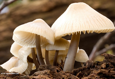 Pengertian, Ciri-Ciri, Klasifikasi Jamur (Fungi) Beserta Contohnya