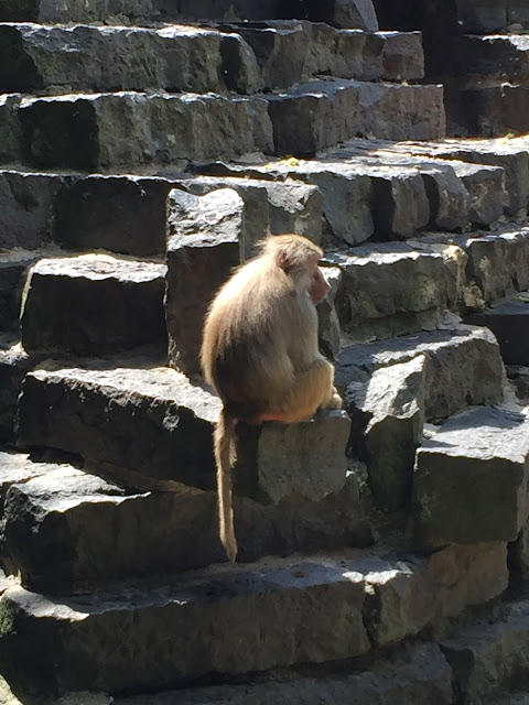 Pavian Krefelder Zoo