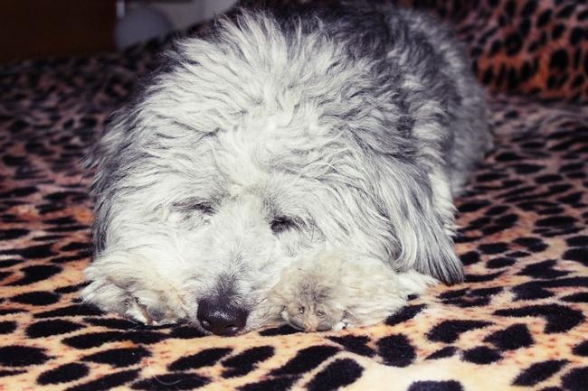 pas koji spava