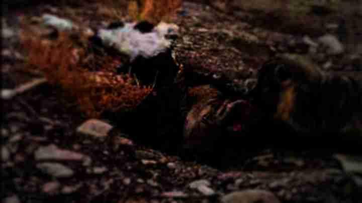 Texugo filmado enterrando carcaça de vaca
