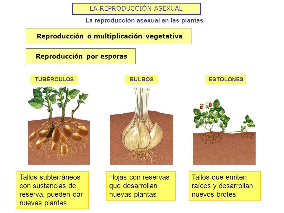 Tipos de reproduccion asexual de las plantas por
