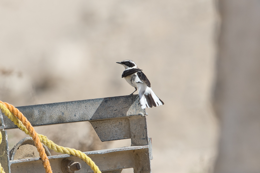 Wheatears and late winter visitors – Jubail