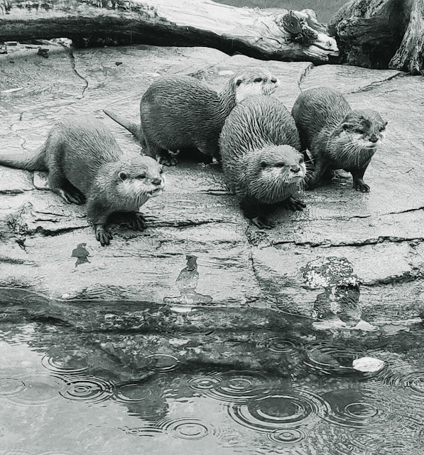 otters in the rain at Paradise Wildlife Park, Herts #mysundayphoto
