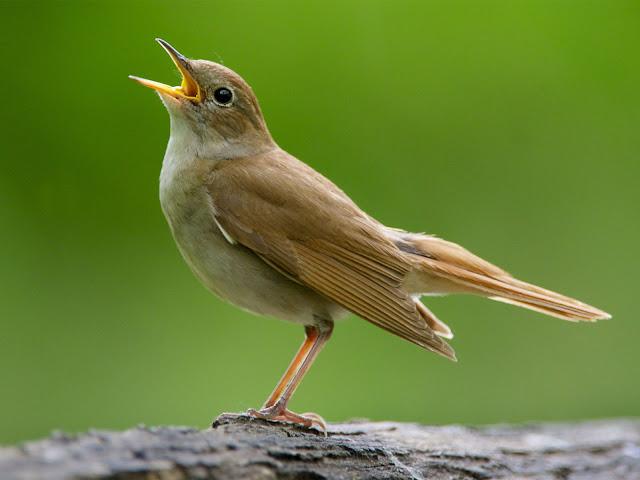 http://tipspetani.blogspot.com/2017/06/sekilas-info-tentang-burung-nightingale.html