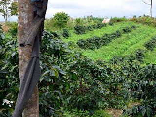 karakteristik-kopi-indonesia.jpg