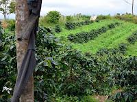 Daftar Karakteristik Kopi-kopi di Indonesia