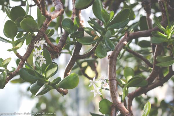 Rahapuu kukkii talvipuutarhassa
