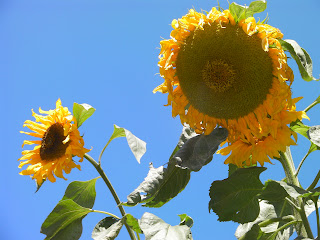 sunflowers helianthus annuus and blue sky
