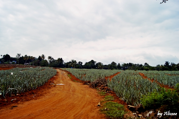 cultura-de-ananas