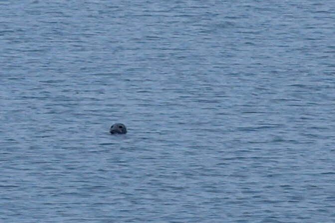 grey seal south walney island