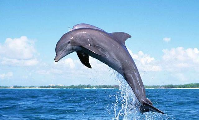 Aksi Lumba-lumba di Teluk Kiluan Lampung
