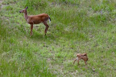 fawns appear in early June