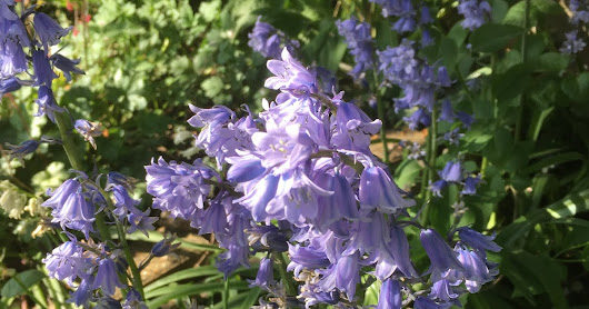 Bluebells Don't Have to be Blue!