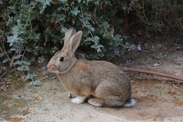 Alicante rabbit
