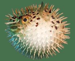porcupine fish : loài cá nhím (pó-khiêu-pai phít-sơ)