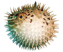 https://www.tienganhphuquoc.com/2018/06/porcupine-fish-loai-ca-nhim.html