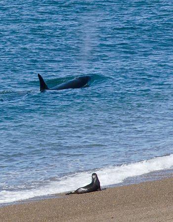 Vivir entre las orcas - lobitos marinos en la frontera