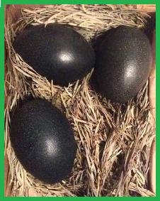 gambar dan foto telur ayam cemani