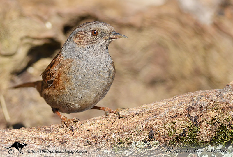 The Dunnock or Hedge Accentor