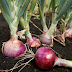Benefits of red onion for acne