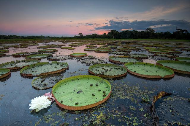 O rio no pantanal com plantas aquaticas e flores