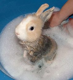 Cara memandikan kelinci yang masih kecil