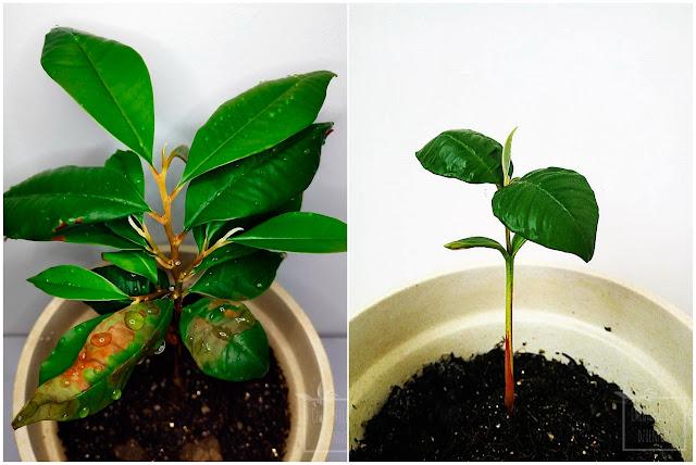 Cainito (Chrysophyllum cainito), caimito, star apple, purple star apple, abiaba, estrella, milk fruit  czy golden leaf tree. Uprawa, hodowla w domu z nasion. Jak wysiać star apple, kiełkowanie, wzrost, liście. Jak długo?