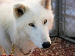 wolf arctic female elves pack snowdancer river dark got related posts animal