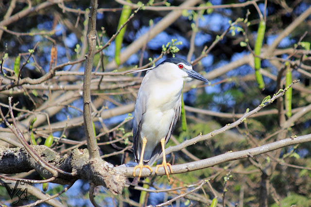 Black-Crowned Night Heron - Ranganathittu