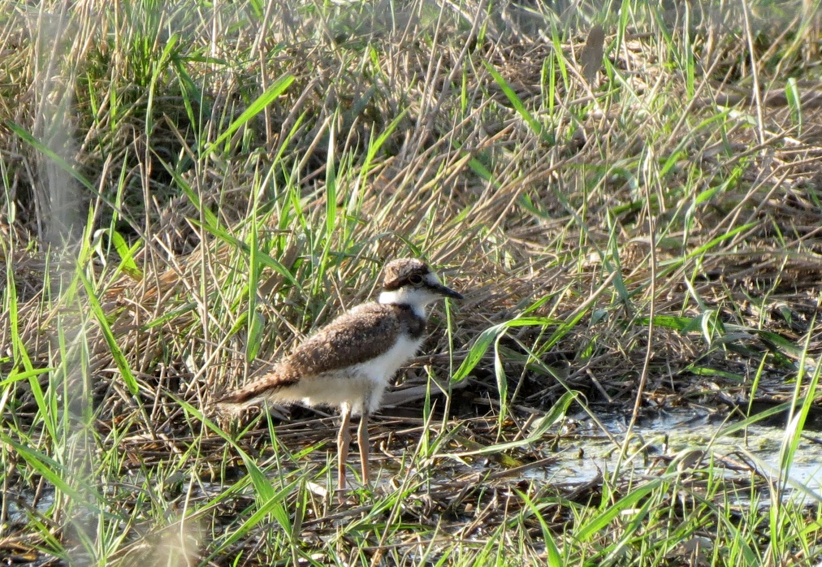 Travels With Birds Young Killdeer