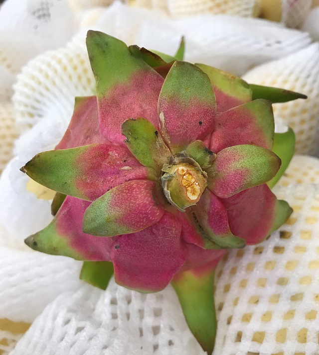 Dragon Fruit bottom
