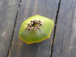 Pandanus sp. - Vacoa